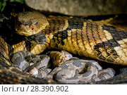 Купить «Timber rattlesnake (Crotalus horridus) with babies aged two days, part of a captive breeding and release programme, Roger Williams Park Zoo.», фото № 28390902, снято 22 октября 2018 г. (c) Nature Picture Library / Фотобанк Лори