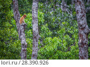 Купить «Proboscis monkey (Nasalis larvatus) feeding, Kinabatangan River, Sabah, Borneo.», фото № 28390926, снято 14 августа 2018 г. (c) Nature Picture Library / Фотобанк Лори