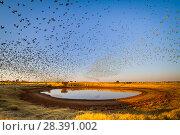Купить «Budgerigars (Melopsittacus undulatus) flocking to find water, Northern Territory, Australia», фото № 28391002, снято 18 августа 2018 г. (c) Nature Picture Library / Фотобанк Лори