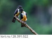 Купить «Black-thighed falconet (Microhierax fringillarius) pair, male on right, female on left, Malaysia. The world's smallest bird of prey, the size of a sparrow.», фото № 28391022, снято 23 февраля 2020 г. (c) Nature Picture Library / Фотобанк Лори