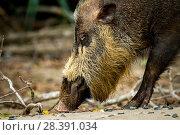 Bearded Pig (Sus barbatus) foraging, Borneo. Стоковое фото, фотограф Paul Williams / Nature Picture Library / Фотобанк Лори