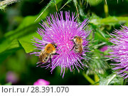 Купить «Common Carder Bees (Bombus pascuorum) on Spear Thistle (Cirsium vulgare), Herefordshire Plateau, England, UK, July.», фото № 28391070, снято 22 мая 2018 г. (c) Nature Picture Library / Фотобанк Лори