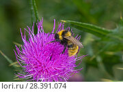 Купить «Male Field Cuckoo Bumblebee (Bombus campestris) on Spear Thistle (Cirsium vulgare), Herefordshire Plateau, England, UK, August.», фото № 28391074, снято 19 июня 2018 г. (c) Nature Picture Library / Фотобанк Лори