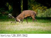 Купить «Red Deer (Cervus elaphus) stag, scent marking with urine, Richmond Park, London, UK.», фото № 28391562, снято 21 мая 2018 г. (c) Nature Picture Library / Фотобанк Лори