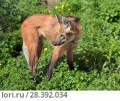 "Купить «Maned wolf (Chrysocyon brachyurus), largest canid. It is only species in genus Chrysocyon (meaning ""golden dog"").», фото № 28392034, снято 8 мая 2018 г. (c) Валерия Попова / Фотобанк Лори"