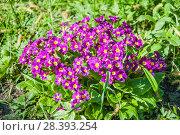 Купить «Цветущая примула, первоцвет (Primula)», фото № 28393254, снято 9 мая 2018 г. (c) Алёшина Оксана / Фотобанк Лори