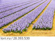 Купить «Hyacinth fields near Keukenhof, Lisse, Netherlands.», фото № 28393530, снято 26 мая 2018 г. (c) Nature Picture Library / Фотобанк Лори