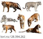 Купить «set of tigers. Isolated over white», фото № 28394262, снято 15 октября 2018 г. (c) Яков Филимонов / Фотобанк Лори