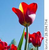 Купить «Красный тюльпан с желтым лепестком на фоне голубого безоблачного неба», фото № 28394714, снято 9 мая 2018 г. (c) Екатерина Овсянникова / Фотобанк Лори