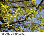 Купить «Ветка с молодыми листьями и соцветиями дуба черешчатого (Quercus robur L.)», фото № 28394762, снято 6 мая 2018 г. (c) Ирина Борсученко / Фотобанк Лори