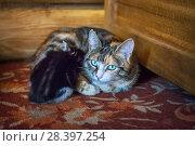 Купить «Мама и котенок Spotted cat mom and black kitten», фото № 28397254, снято 30 апреля 2018 г. (c) Baturina Yuliya / Фотобанк Лори