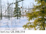 Купить «Весна, месторождение Русское, Тазовский район, Ямало-ненецкий, заполярье,  полярный круг, север,  болото, топь, трясина, заснеженный, тундра, распутье,   горизонталь, , безлюдно, nobody, Россия, Сибирь ,Тюменская область, Тюмень, проталина, снег, лёд, лес, лиственница», эксклюзивное фото № 28398314, снято 28 апреля 2008 г. (c) Александр Циликин / Фотобанк Лори