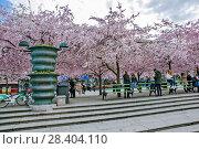 Купить «Аллея цветущей сакуры в Королевском парке. Стокгольм. Швеция», фото № 28404110, снято 30 апреля 2018 г. (c) Сергей Афанасьев / Фотобанк Лори