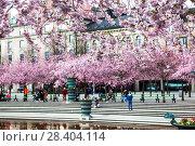 Купить «Цветущая сакура. Королевский парк. Стокгольм. Швеция», фото № 28404114, снято 30 апреля 2018 г. (c) Сергей Афанасьев / Фотобанк Лори