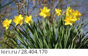 Купить «Желтые нарциссы Yellow daffodils (Narcissus poeticus)», видеоролик № 28404170, снято 3 мая 2018 г. (c) Ольга Сейфутдинова / Фотобанк Лори