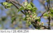Купить «Бутоны яблони крупным планом», видеоролик № 28404254, снято 9 мая 2018 г. (c) Ольга Сейфутдинова / Фотобанк Лори
