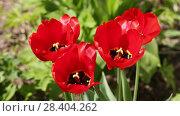 Купить «Красные тюльпаны», видеоролик № 28404262, снято 9 мая 2018 г. (c) Ольга Сейфутдинова / Фотобанк Лори