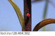 Купить «Лилейная трещалка (Lilioceris lilii) Scarlet lily beetle, Red lily beetle, Lily leaf beetle, Lily beetle (Lilioceris lilii), sits on a leaf», видеоролик № 28404302, снято 11 мая 2018 г. (c) Ольга Сейфутдинова / Фотобанк Лори
