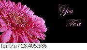 Купить «Розовая гербера на черном фоне. Поздравительный фон с розовым цветком.   Свободное место для текста.», фото № 28405586, снято 28 апреля 2018 г. (c) ирина реброва / Фотобанк Лори