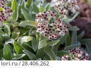 Купить «Бессмертник своенравный (Helichrysum devium)», фото № 28406262, снято 22 февраля 2018 г. (c) Ирина Яровая / Фотобанк Лори