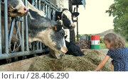 Купить «Little Cute Girl Giving Green Grass to Black and White Cow and Laughing. Animal Feeding, Eco Farming Concept, Slow Motion.», видеоролик № 28406290, снято 10 мая 2018 г. (c) Ольга Балынская / Фотобанк Лори