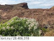 Купить «Бессмертник своенравный (Helichrysum devium)», фото № 28406318, снято 22 февраля 2018 г. (c) Ирина Яровая / Фотобанк Лори