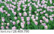 Купить «There are many pink tulips in flowerbed», видеоролик № 28409790, снято 14 мая 2018 г. (c) Володина Ольга / Фотобанк Лори