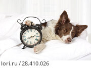 Купить «Adorable Collie border breed dog sleeping in bed», фото № 28410026, снято 26 апреля 2018 г. (c) Алексей Кузнецов / Фотобанк Лори