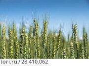 Купить «Колосья пшеницы. Пшеничное поле», фото № 28410062, снято 26 июня 2013 г. (c) Ольга Сейфутдинова / Фотобанк Лори