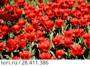 Красные тюльпаны на клумбе (2018 год). Редакционное фото, фотограф Юрий Морозов / Фотобанк Лори