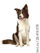 Collie border dog sitting in front of white background. Стоковое фото, фотограф Алексей Кузнецов / Фотобанк Лори