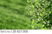 Купить «Young leaves of bush in a backlight», видеоролик № 28421006, снято 15 мая 2018 г. (c) Володина Ольга / Фотобанк Лори