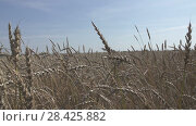 Купить «Field of golden ripe wheat ready to be harvested in summer sunny day», видеоролик № 28425882, снято 14 мая 2008 г. (c) Куликов Константин / Фотобанк Лори