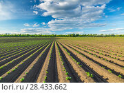 Поле картофеля (Potato field) Стоковое фото, фотограф Ольга Сейфутдинова / Фотобанк Лори