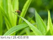 Купить «Муха сидит на травинке. Макро снимок», эксклюзивное фото № 28433818, снято 16 мая 2018 г. (c) Игорь Низов / Фотобанк Лори