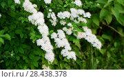 Купить «Sprig bush with white flowers in spring», видеоролик № 28438378, снято 18 мая 2018 г. (c) Володина Ольга / Фотобанк Лори