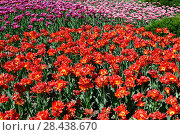 Large flower bed with pink and red tulips terry. Стоковое фото, фотограф Володина Ольга / Фотобанк Лори