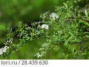 Купить «Цветущая ветка Спирея серая Grefsheim (Spiraea cinerea Zabel)», фото № 28439630, снято 8 мая 2018 г. (c) Татьяна Белова / Фотобанк Лори