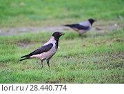 Купить «Серая ворона стоит на газоне», эксклюзивное фото № 28440774, снято 5 мая 2018 г. (c) Dmitry29 / Фотобанк Лори