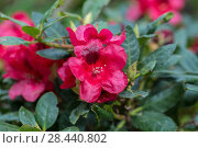 Купить «rhododendron (Rhododendron 'Small Wonder', Rhododendron Small Wonder), cultivar Small Wonder. Close-up of red rhododendron blossoms in the garden in spring. Catawba Rhododendron Cultivar (Rhododendron catawbiense)», фото № 28440802, снято 21 мая 2017 г. (c) Ольга Сейфутдинова / Фотобанк Лори