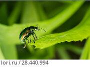 Купить «Жук бронзовка среди травы», эксклюзивное фото № 28440994, снято 16 мая 2018 г. (c) Игорь Низов / Фотобанк Лори