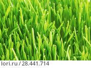 Купить «Drops of dew on a green grass», фото № 28441714, снято 3 апреля 2014 г. (c) Иван Михайлов / Фотобанк Лори
