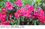 Купить «rhododendron (Rhododendron 'Small Wonder', Rhododendron Small Wonder), cultivar Small Wonder. Close-up of red rhododendron blossoms in the garden in spring. Catawba Rhododendron Cultivar (Rhododendron catawbiense)», видеоролик № 28442270, снято 19 мая 2018 г. (c) Ольга Сейфутдинова / Фотобанк Лори