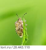 Купить «Макро съёмка. Лесной клоп сидит на траве», эксклюзивное фото № 28443110, снято 16 мая 2018 г. (c) Игорь Низов / Фотобанк Лори