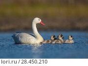 Купить «RF - Coscoroba swan, (Coscoroba coscoroba) with chicks, La Pampa, Argentina», фото № 28450210, снято 20 сентября 2018 г. (c) Nature Picture Library / Фотобанк Лори