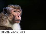Купить «Toque macaque (Macaca sinica sinica) alpha male portrait. Polonnaruwa, Sri Lanka February.», фото № 28451354, снято 28 мая 2018 г. (c) Nature Picture Library / Фотобанк Лори