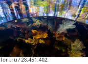 Купить «Split level view of autumn leaves underwater and tree reflections on the water surface, Levenumse beek, the Netherlands, November.», фото № 28451402, снято 16 августа 2018 г. (c) Nature Picture Library / Фотобанк Лори
