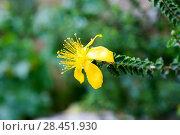 Estepa joana or hiperico de Baleares (Hypericum balearicum) is an evergreen shrub endemic to Balearic Islands. Flower detail. This photo was taken in Serra... Стоковое фото, фотограф J M Barres / age Fotostock / Фотобанк Лори