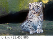 Купить «Snow leopard (Panthera uncia) cub age three months, captive.», фото № 28453886, снято 18 сентября 2018 г. (c) Nature Picture Library / Фотобанк Лори