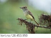Купить «Galapagos flycatcher (Myiarchus magnirostris) Highlands, El Puntudo Region, Santa Cruz Island, Galapagos», фото № 28453950, снято 21 июня 2018 г. (c) Nature Picture Library / Фотобанк Лори